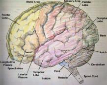 Японцы научатся читать мозг человека