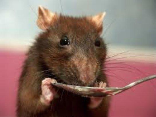 Кормим декоративных крыс!