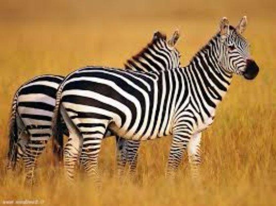 Ученые выяснили, почему зебры полосатые