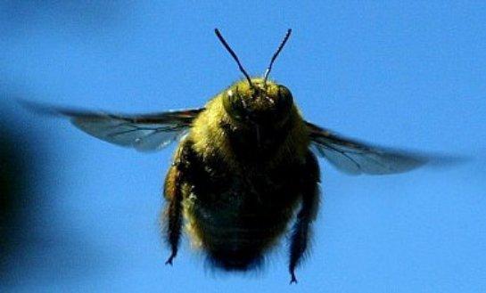 Шмелю в полете не мешает сильный вихревой ветер - ученые