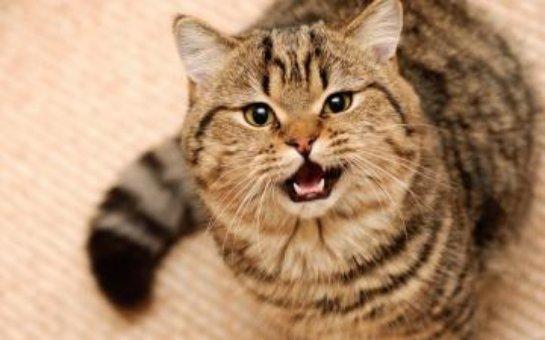 Толстый кот показал мастер-класс в качании пресса (ВИДЕО)