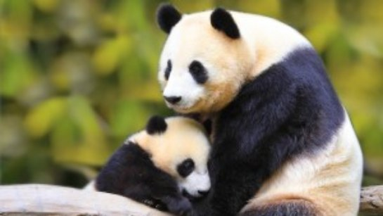 В США впервые детeныш большой панды появился перед гостями зоопарка (видео)