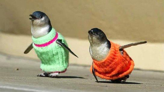 ВИДЕОХИТ: пингвин хохочет от щекотки