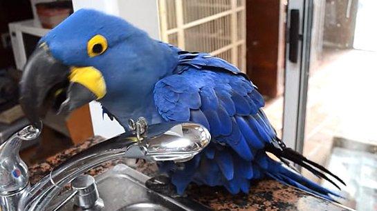 ВИДЕОХИТ: расточительный попугай принимает душ