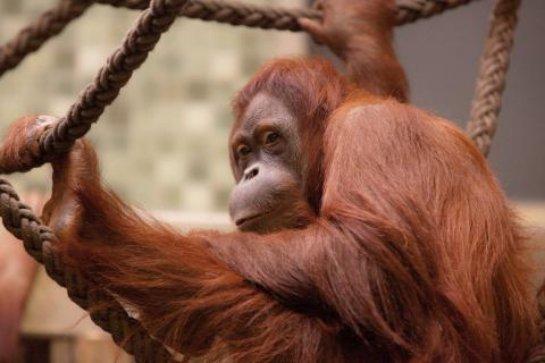 Самка орангутана изобрела гамак (ВИДЕО)