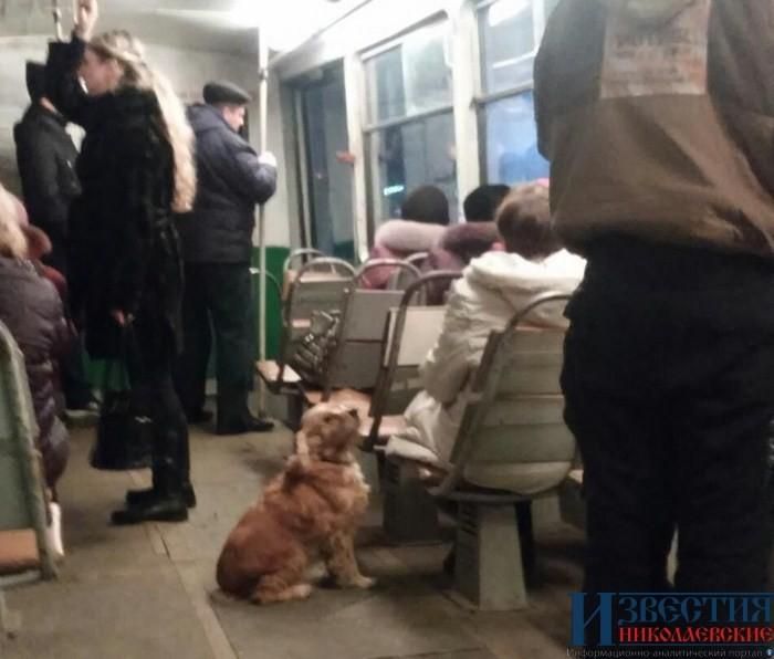 Пес катается в трамвае и развлекает пассажиров. Фото