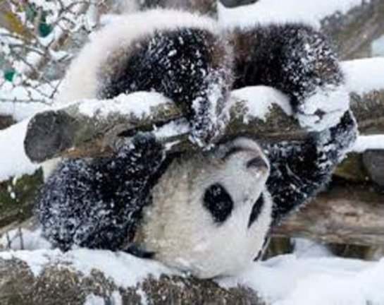Панда с тазиком стала звездой интернета (фото, видео)