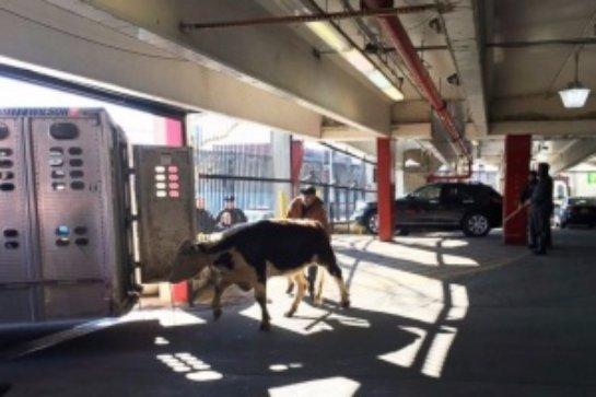 В США корова сбежала из мясного магазина (видео)