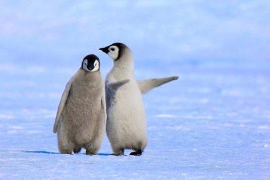 В мире животных. Как смеются пингвины (ВИДЕО)