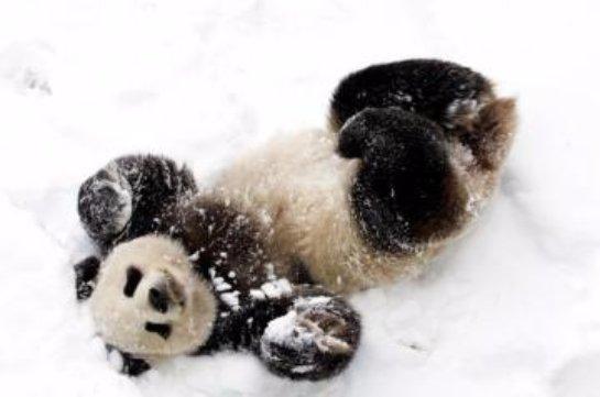 Знаменитая панда Тянь-Тянь купается в сугробе снега (видео)