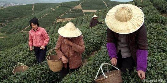 Зеленый чай помогает здоровью мозга
