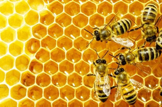Медоносные пчелы станут помощниками в изготовлении универсального лекарства