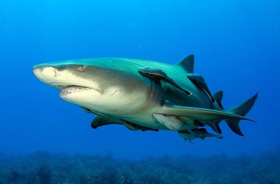 Акулью кровь хотят использовать для борьбы с раком