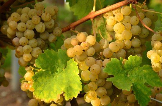 С помощью винограда можно лечить астму