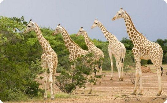 Жирафы существуют не в одном, а в четырех видах