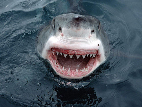 У человека зубы тверже, чем у акулы