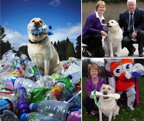 Лабрадор Табби собрал 26000 пластиковых бутылок
