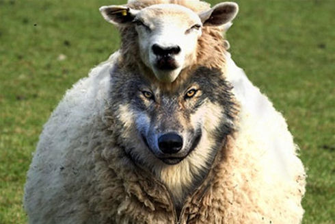 Швейцарские овцы будут отправлять SMS пастухам