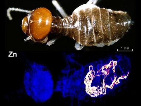 Термиты помогут в поисках золота
