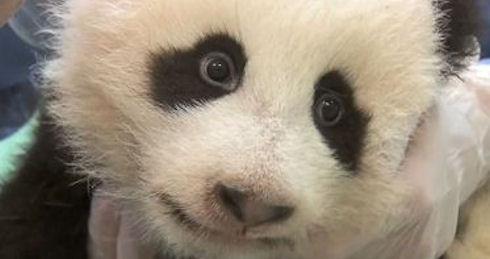 За взрослением панды Сосиска можно проследить на YouTube