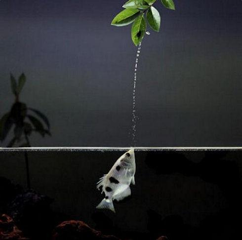 Рыба-брызгун научит гасить огонь