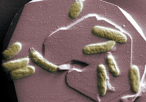 Бактерии могут стать основой биоаккумуляторов