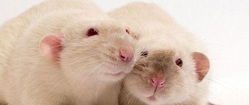 Крысы подтвердили эффективность вакцины от героина