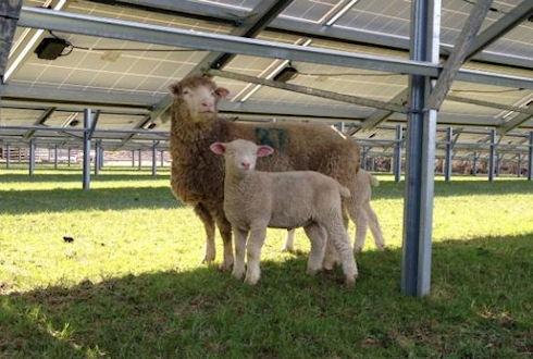 Ферма по разведению лам приютит солнечную электростанцию
