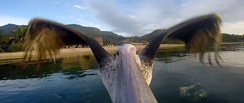 Пеликан снял свой полет с помощью видеокамеры