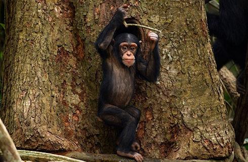 Ученые рассказали об общении обезьян