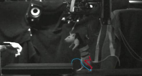 Ученые «научили» ходить парализованную мышь