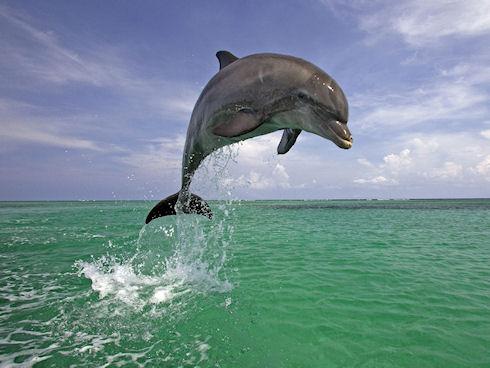 Дельфины научили человека эффективно искать взрывные устройства