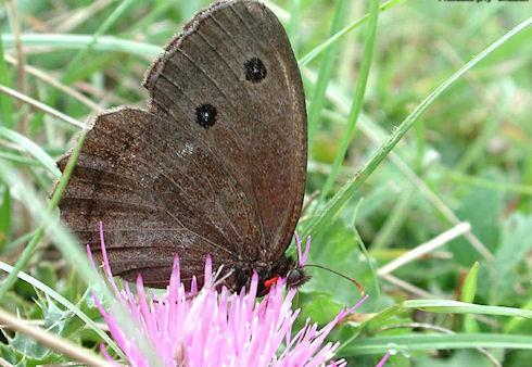 Бабочки сатириды