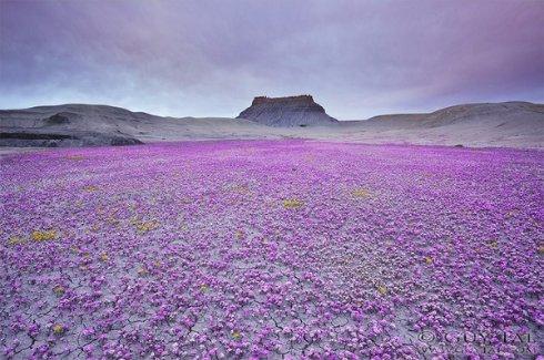 Чудеса случаются: в самой сухой пустыне мира зацвели растения