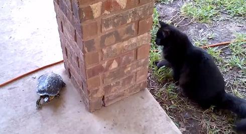 Кот обхитрил черепаху — новый хит YouTube