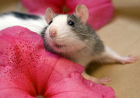 О декоративных крысах