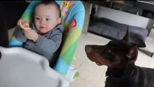 Огромный доберман ест с рук маленького ребенка. Невероятно!