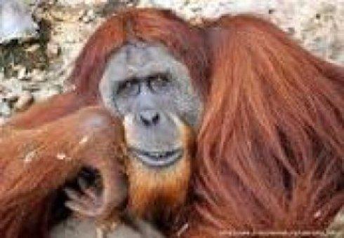 Орангутаны умеют специально изменять голос, - ученые