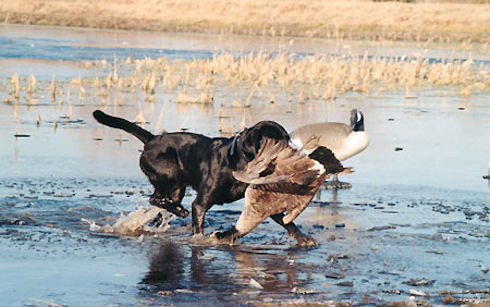 Охота с собакой на уток