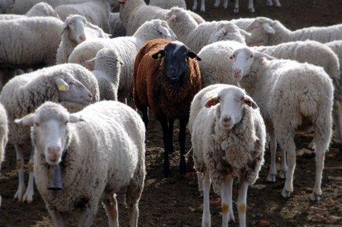 Первым в мире биологическим оружием были овцы
