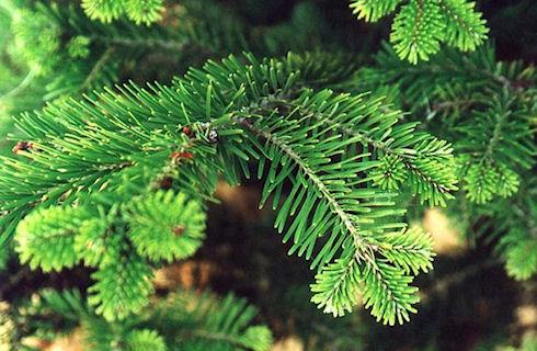 Выбор елки к Новому году