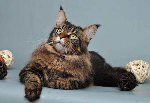 Характер кошки и ее порода