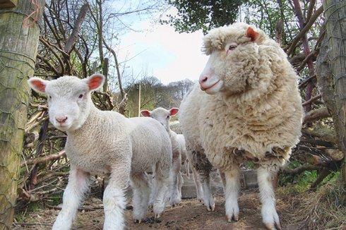 Жители Британии будут «получать» интернет по Wi-Fi от овец